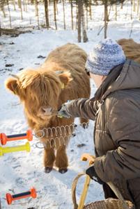Vanha nainen syöttää heinää kädestä ylämaankarjan lehmälle talvella ulkona.