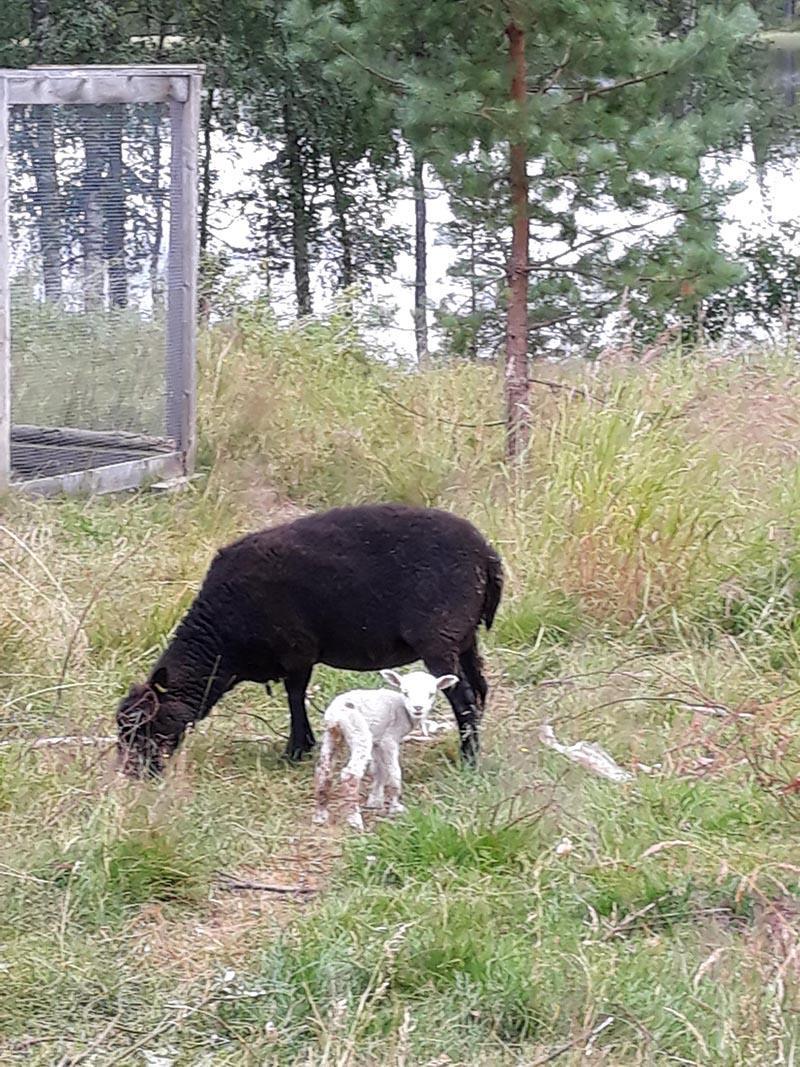 Musta lammas ja valkoinen karitsa laitumella
